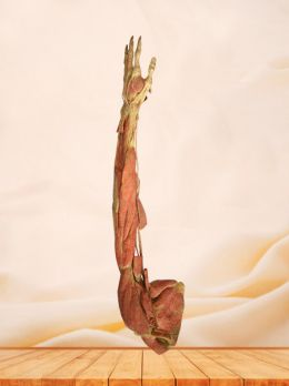 Deep muscles of upper limb plastinated specimen
