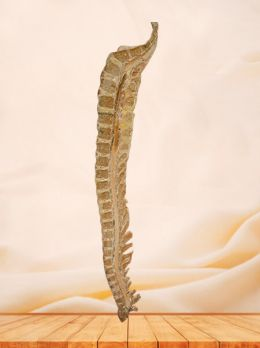 Median sagittal section of vertebral column plastinated specimen