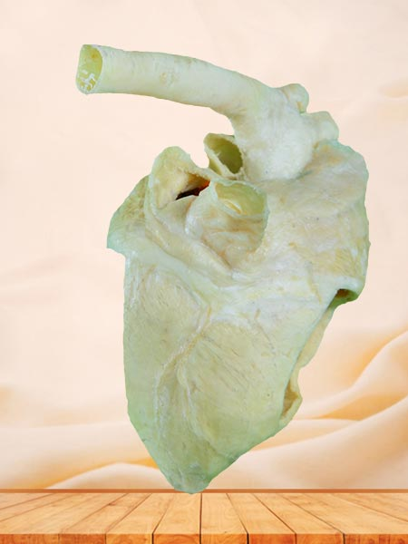 Heart cavity of pig plastinated specimen