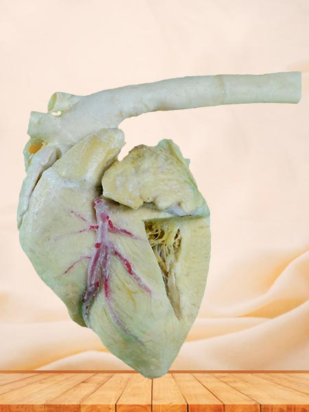 Heart cavity of pig plastination