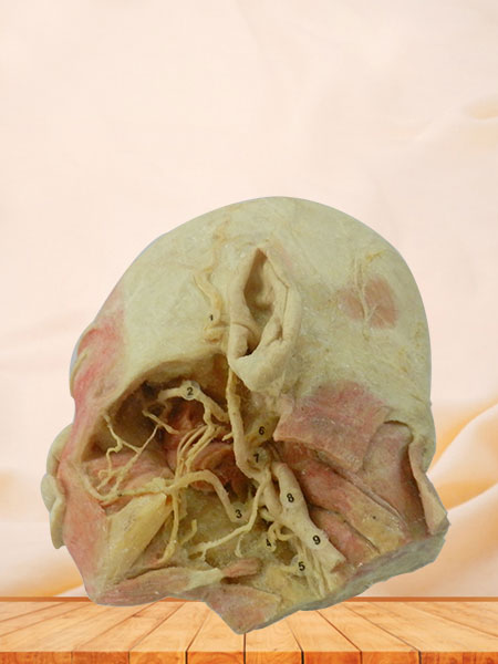 Human deep vascular nerve of head and face plastination