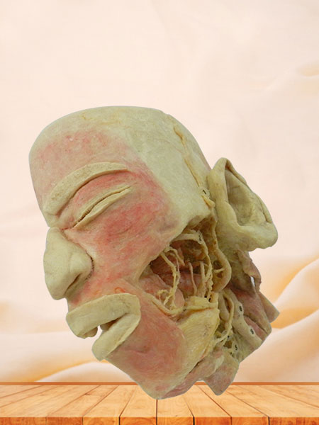 Human deep vascular nerve of head and neck and face