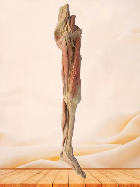 Superficial vein and nerve of lower limb plastination