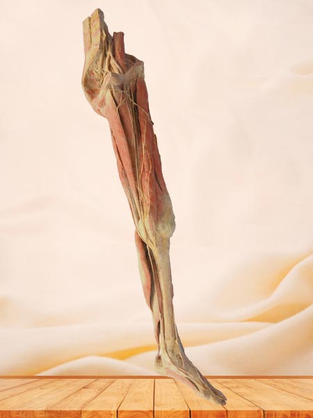 artery of lower extremity plastination human specimen