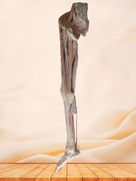 artery of lower limb plastinated specimen