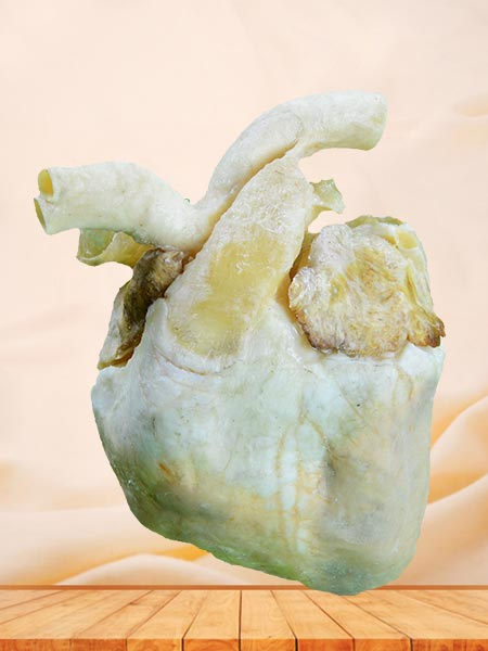 heart of pig plastinated specimen