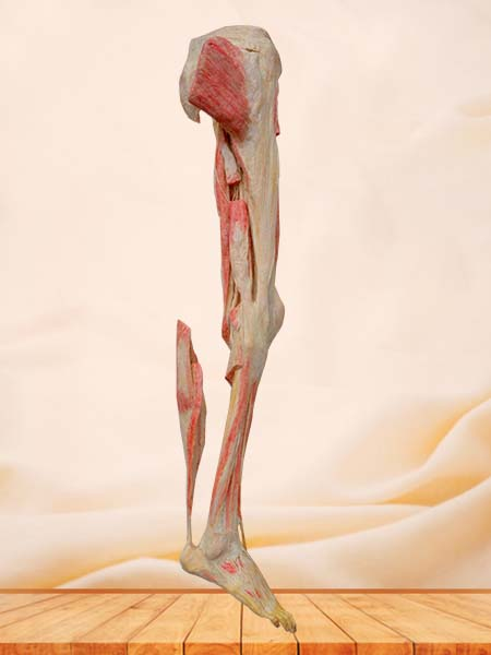 human lower limb plastinated specimen