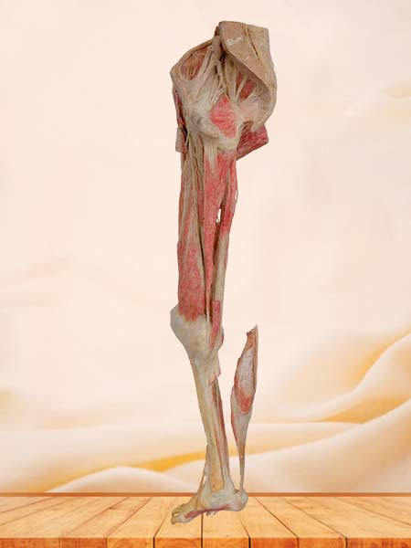 lower limb plastinated specimen