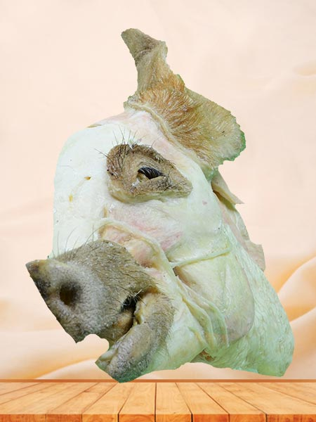 median sagittal section of pig head plastination
