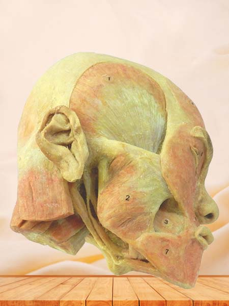 superficial muscle of masticatory plastinated specimen