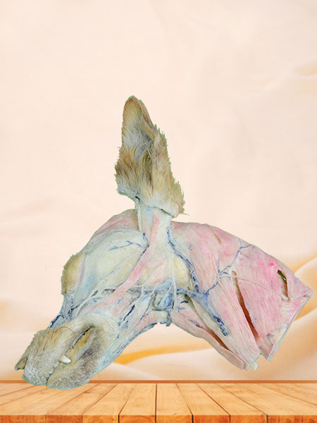 superficial vein of dog head and neck plastination