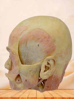 Deep muscle of head plastinated specimen