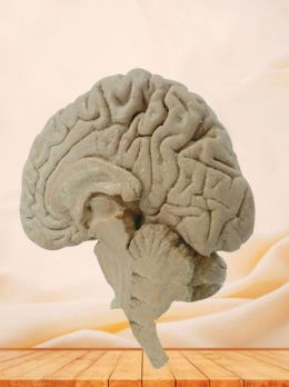 Median sagittal section of brain plastinated specimen