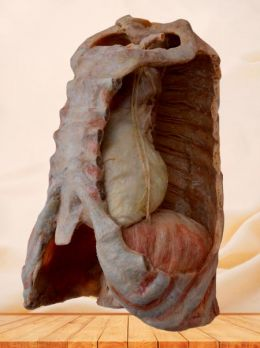 Mediastinal organs and diaphragm plastinated specimen