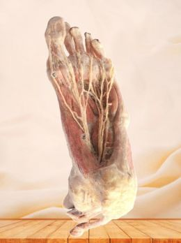 Plantar artery of foot plastinated specimen