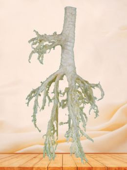 Bronchial tree of sheep plastinated specimen