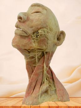 Superficial vascular nerve of head and neck plastinated specimen