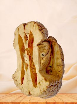 Ventricle and the insula plastinated specimen