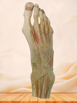 Dorsal artery of foot plastinated specimen