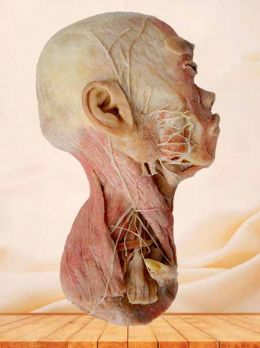 Half head muscle plastinated specimen