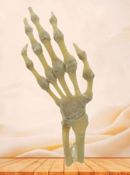 Section of hand joint plastinated specimen