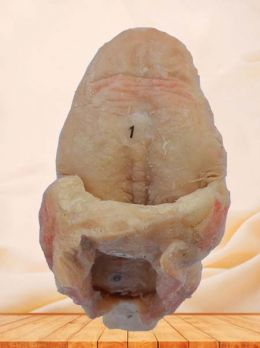 Tongue plastinated specimen