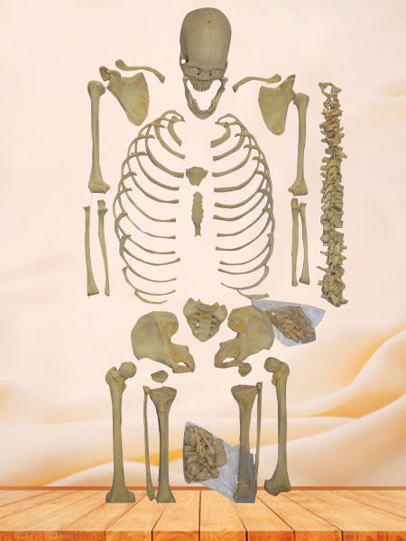 Superior bones of human whole body