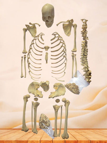 Superior human detached bones
