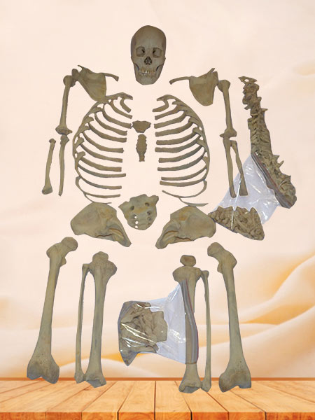 Superior human whole detached skeleton
