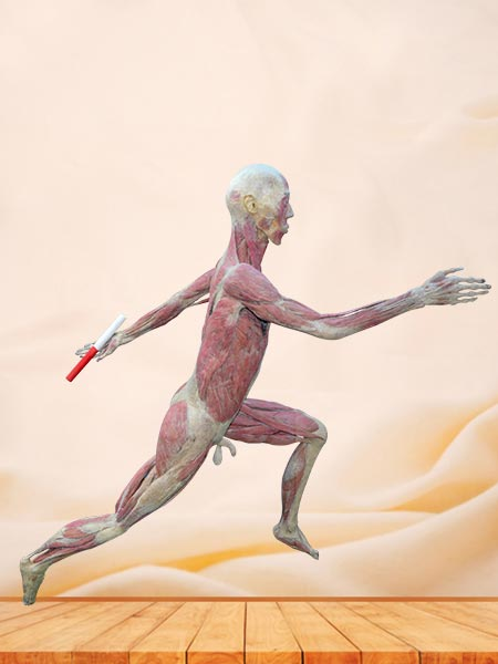 Relay runner plastinated specimen