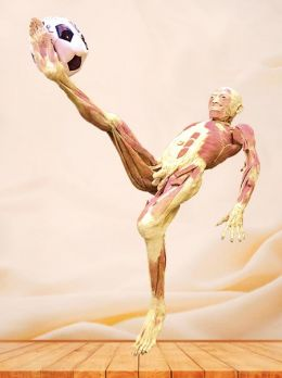 Bicycle kick plastinated specimen