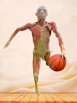 Dribble plastinated specimen
