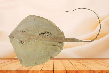 Ray plastinated specimen