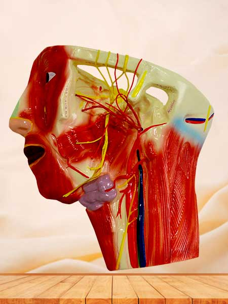 blood vessel and nerves anatomical model in the face neck