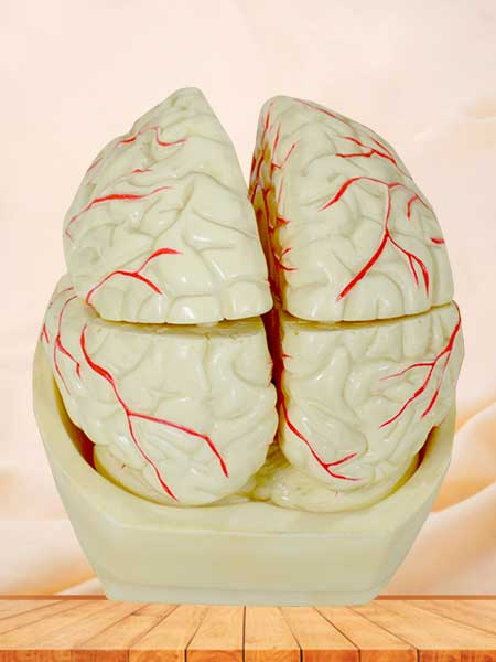brain and brain artery anatomy model
