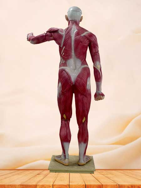 human muscle anatomy model
