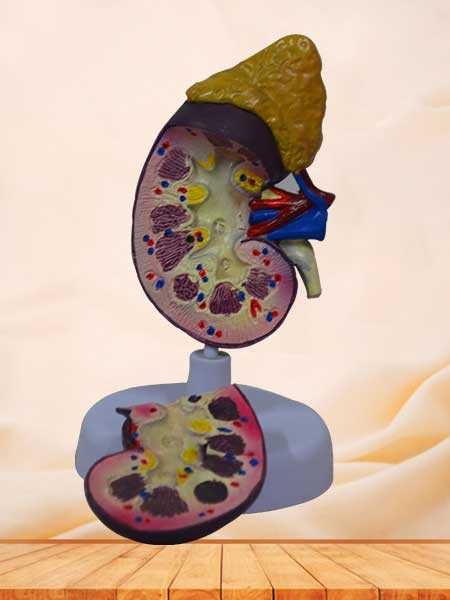 kidney expansion model