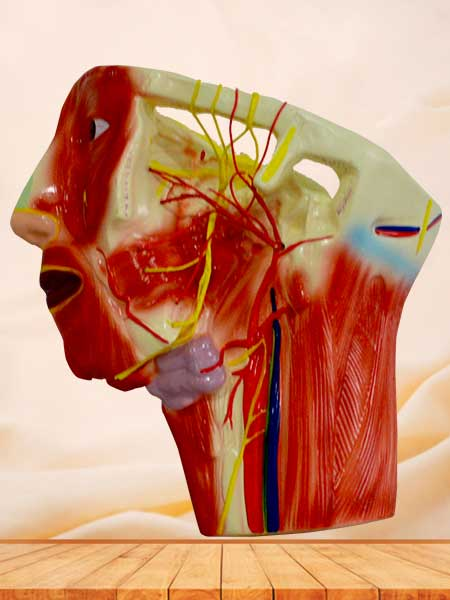 medical anatomy blood vessel and nerves model in the face neck