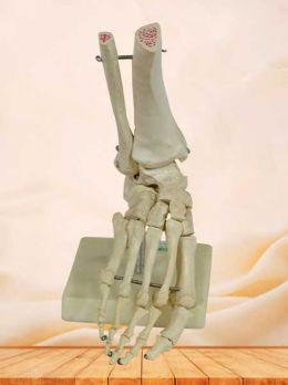 Human foot skeleton model