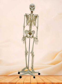 Medical plastic human skeleton model