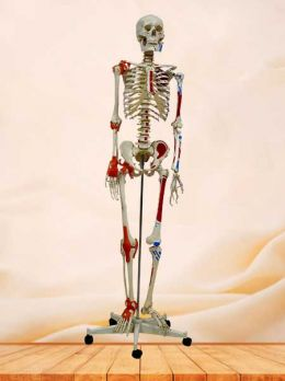 Human skeleton model with muscles and joint ligaments