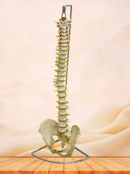 Human spinal column model with pelvis
