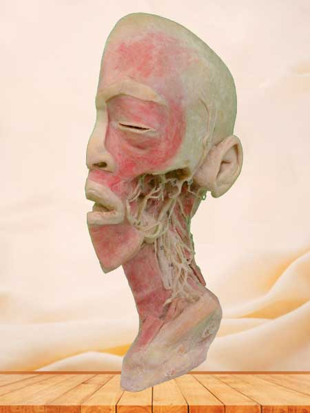 Deep vascular nerve of head and neck plastination