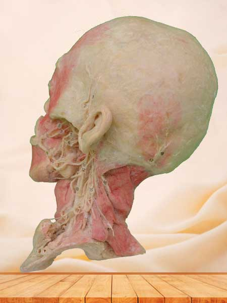 Deep vascular nerve of head and neck