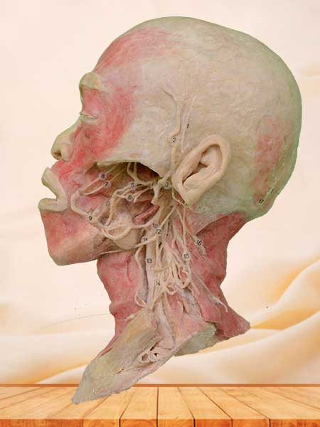 Deep vascular nerve of head and neck specimen
