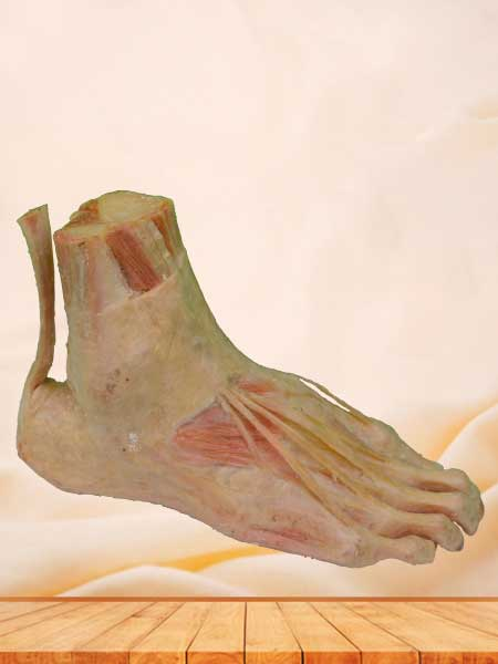 superficial muscle of foot plastinated specimen