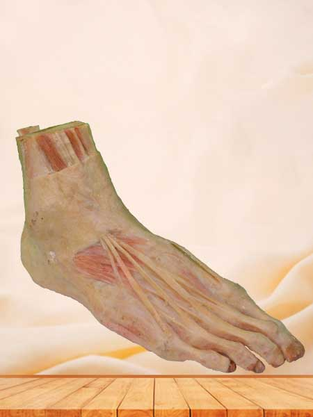 superficial muscle of foot plastination