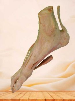 Superficial muscle of human foot plastinated specimen