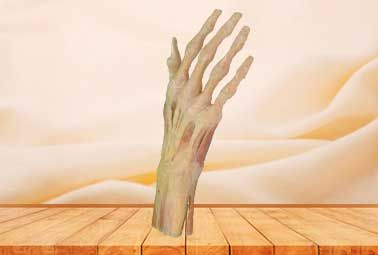 Superficial muscle of hand