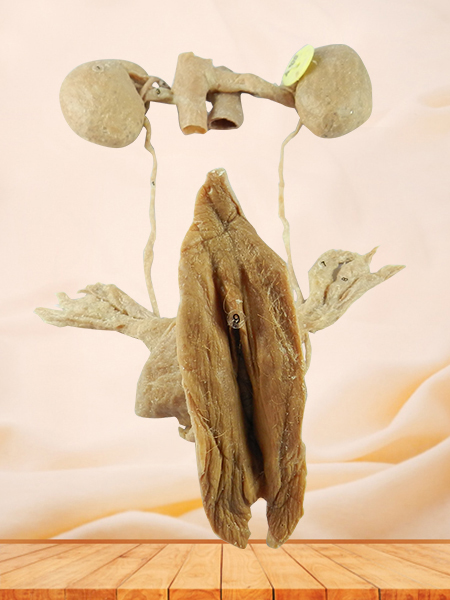 female urogenital system plastinated organs